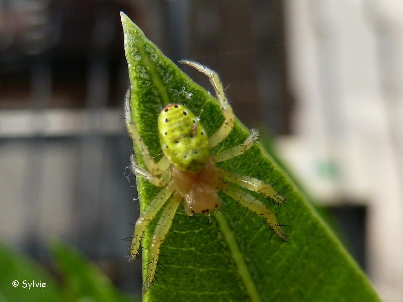 Insectes de la provence photos - Araignee des jardins en 6 lettres ...