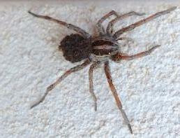 nombre yeux araignée